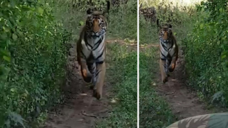 VIRAL: Video of tiger chasing tourists in Maharashtra goes viral