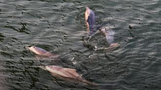 Humpback dolphins spotted near Bandra-Worli Sea Link
