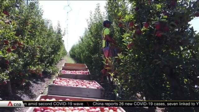 Australia's strict COVID-19 border controls lead to manpower shortage for farmers | Video
