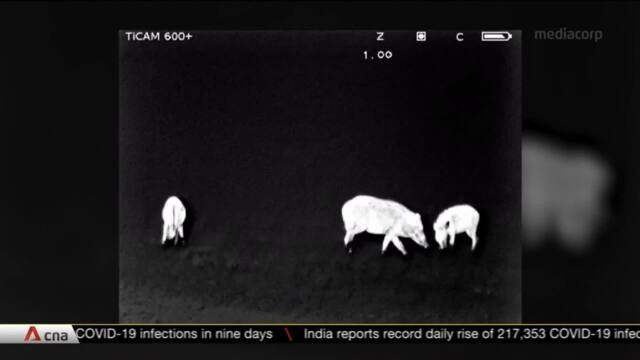 SG Pulse: Tracking Singapore's wild boar population | Video