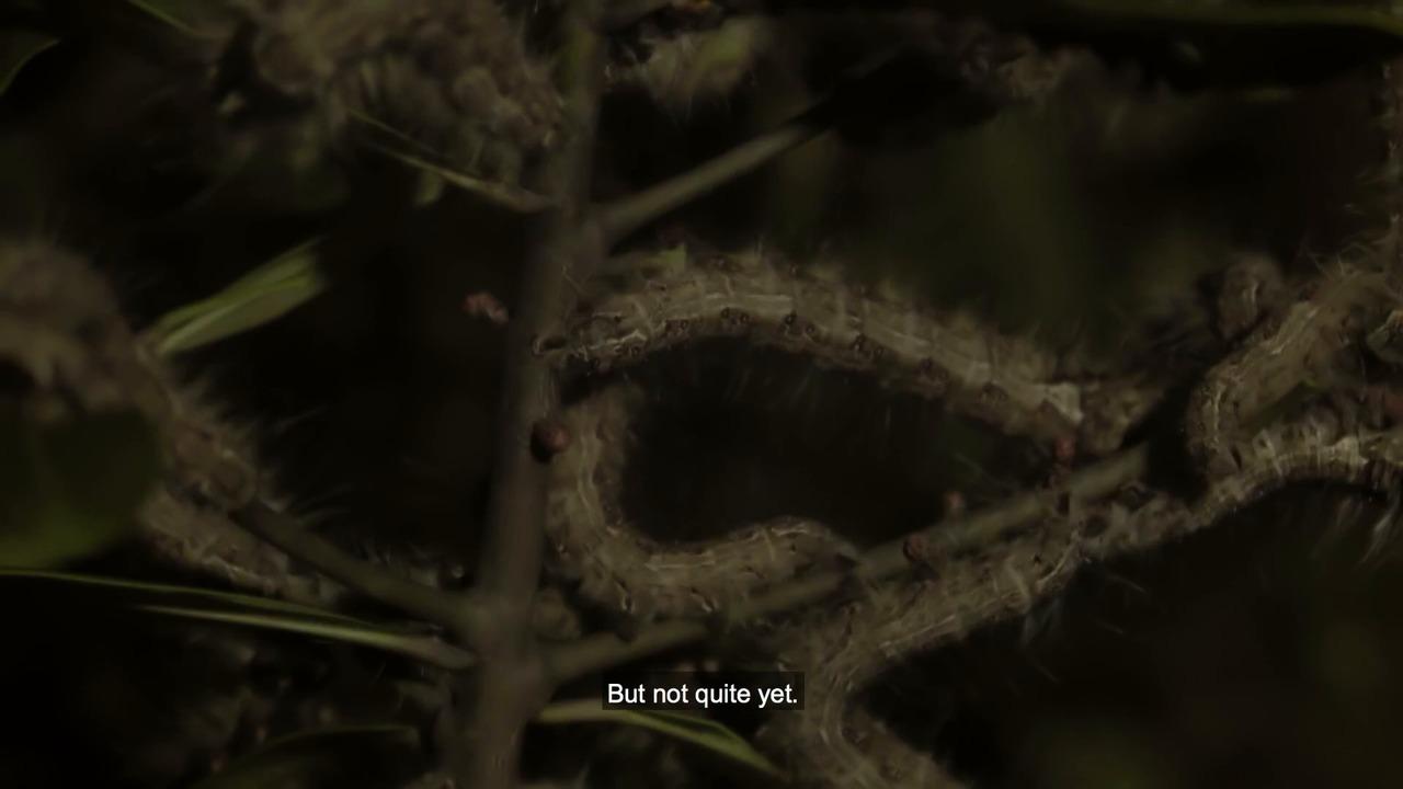 The Moth Caterpillar
