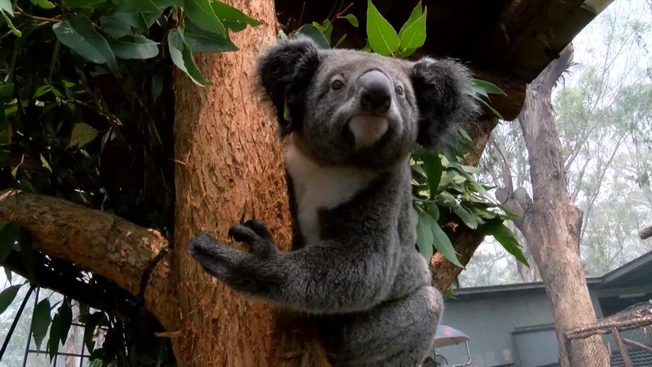 Volunteers rescue dozens of endangered koalas as Australian bush fires continue | Video