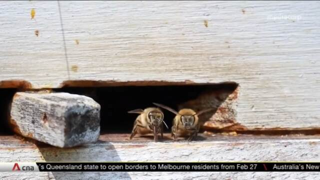 Queen bee shortage in Australia threatening agricultural growth | Video